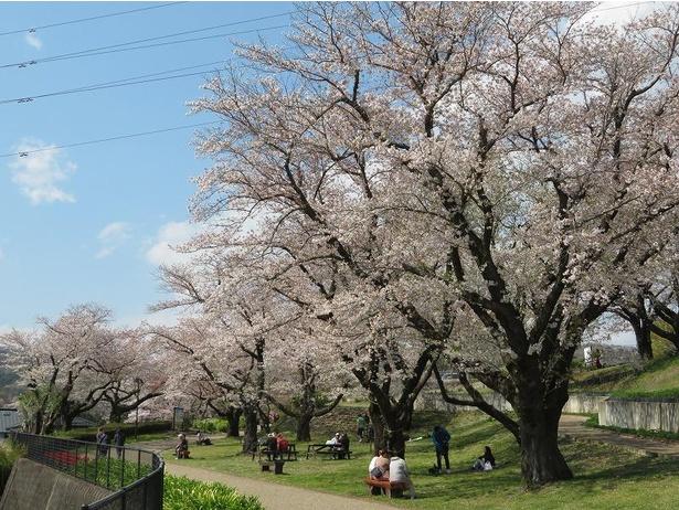 水の苑地の桜