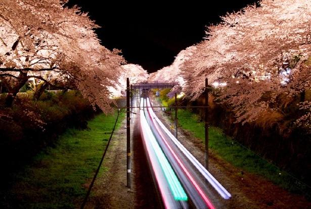 ライトアップされた夜桜のトンネルを通る電車