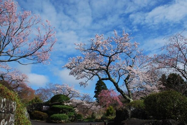 常緑樹の中で桜のピンク色が映える