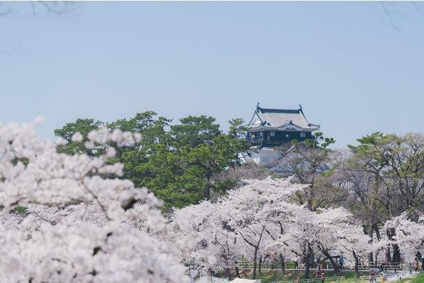 岡崎公園を彩る満開の桜