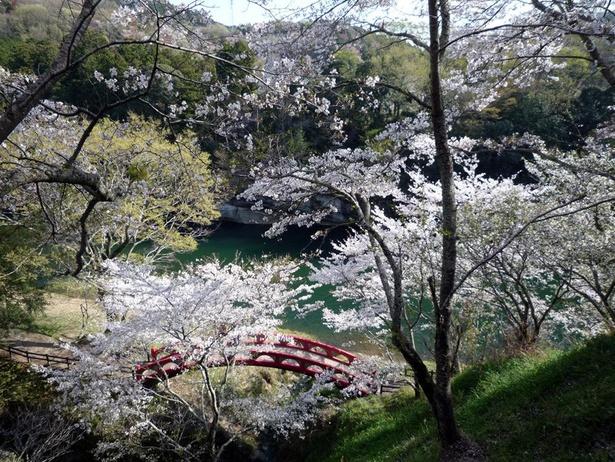 日本庭園に咲く満開の桜は見事