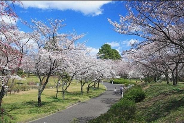 遊歩道の両脇を桜が彩る