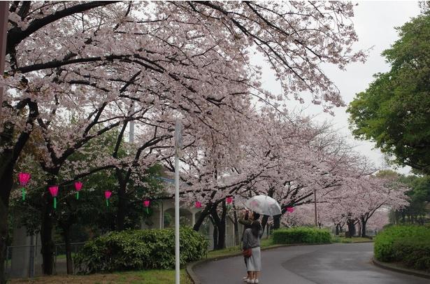 約1000本の桜並木を眺められる