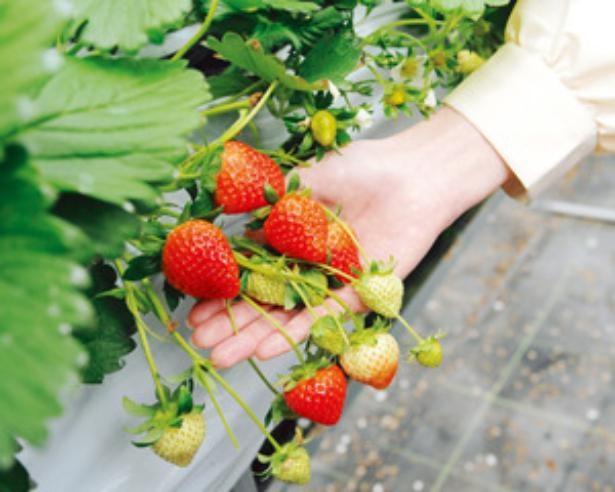 奈良を代表する4品種を楽しもう / 下村ベリー園