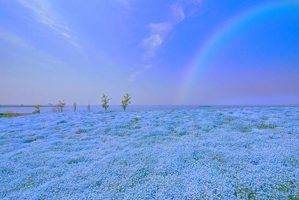 鮮やかなプラチナムブルーのじゅうたんが広がる