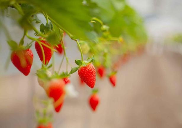 【写真】真っ赤に熟したおいしいいちごに舌鼓
