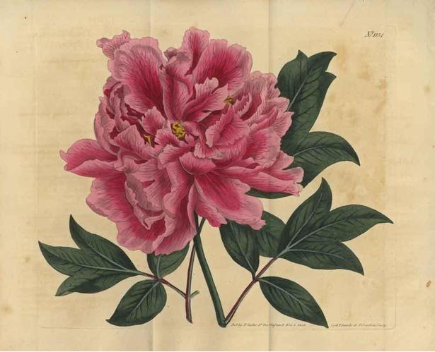 《ボタンの栽培品種(ボタン科)》1809年 個人蔵
