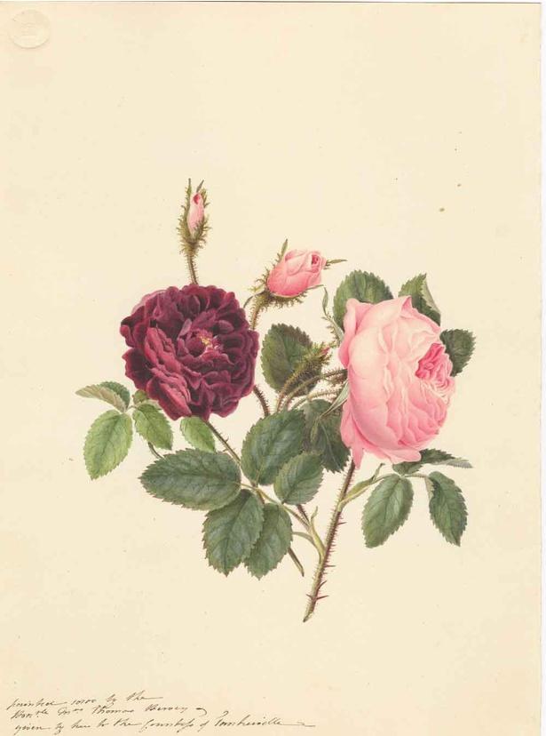 【写真】トマス・ハーヴェイ夫人《ローザ・ケンティフォリア(キャベツローズ)とローザ・ガリカ(フレンチローズ)の栽培品種(バラ科)》1800年 キュー王立植物園蔵