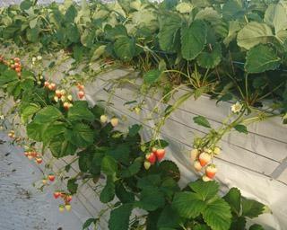 宮崎の絶品いちご、宮崎県小林市の水間いちご園で「いちご狩り」が開催中