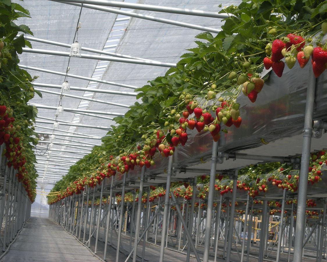 摘みやすいハウスでいちごを満喫、島根県浜田市のきんた農園ベリーネで「いちご狩り」実施中