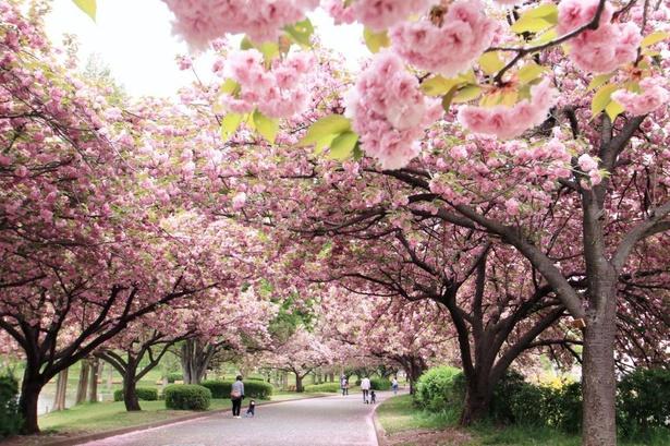 【写真】桜並木は土手沿いに約1キロ続く