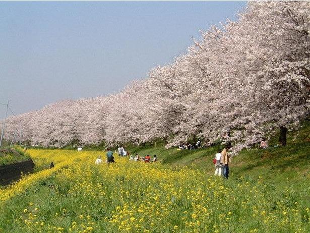 菜の花と桜のコントラストを堪能できる