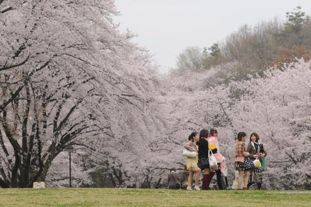 桜に囲まれてのんびり散歩を楽しめる