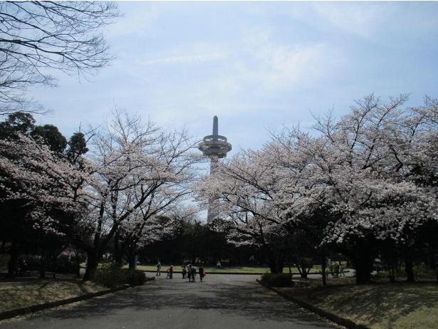 公園のシンボルである放送塔とソメイヨシノの共演