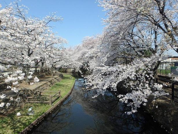 池沿いを散歩しながら桜を愛でることができる
