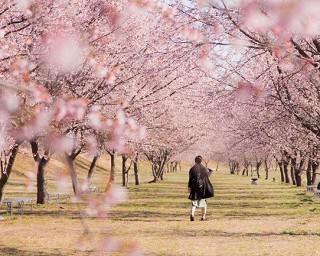 埼玉県の桜・花見が楽しめる公園10選