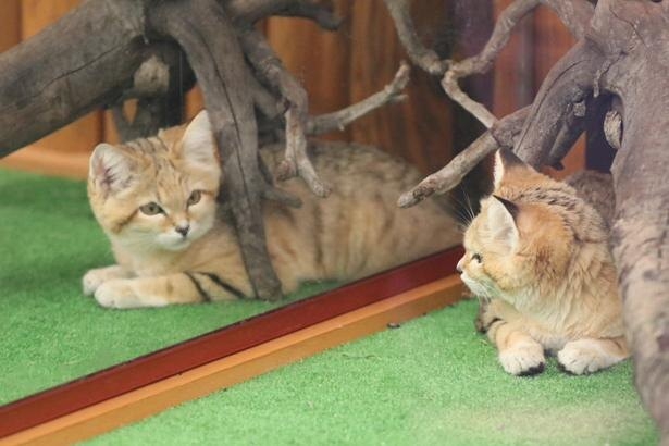 人工哺育のキサクは、自分以外のスナネコを見たことがない。今後のことを考えて現在は、展示場に大きな鏡を設置している