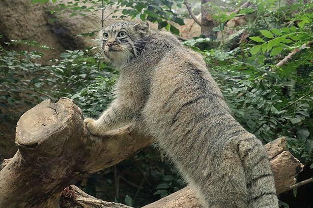 体長は大きなイエネコと同じくらいの50~65cm