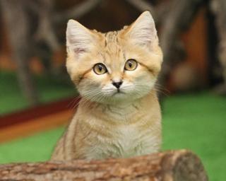 2月22日は猫の日!スナネコなど神戸どうぶつ王国の激レアネコを紹介