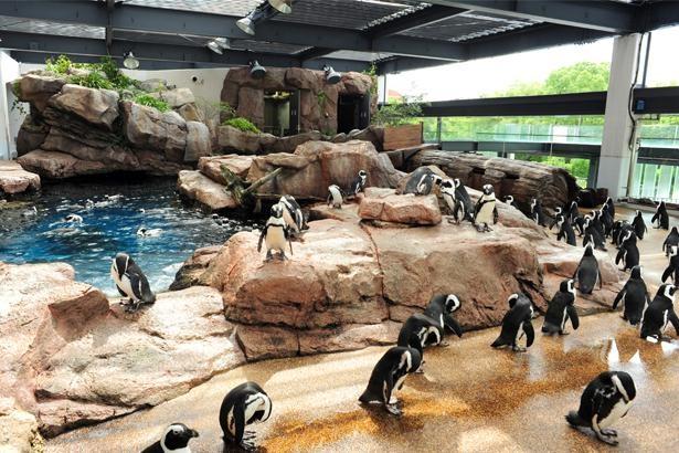 """「京都水族館」の十""""ペン""""十色なケープペンギンたち。個性的過ぎる59羽がのほほんと暮らす"""