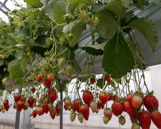 美味しいいちごに逢える!千葉県君津市の渡邉いちご園で「いちご狩り」が開催中