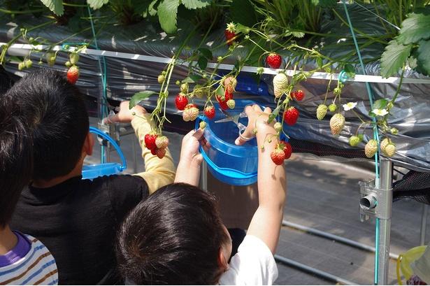 【写真】真っ赤に熟したおいしいいちごを堪能しよう!