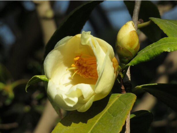 【写真】珍しい黄花の「初黄(しょこう)」
