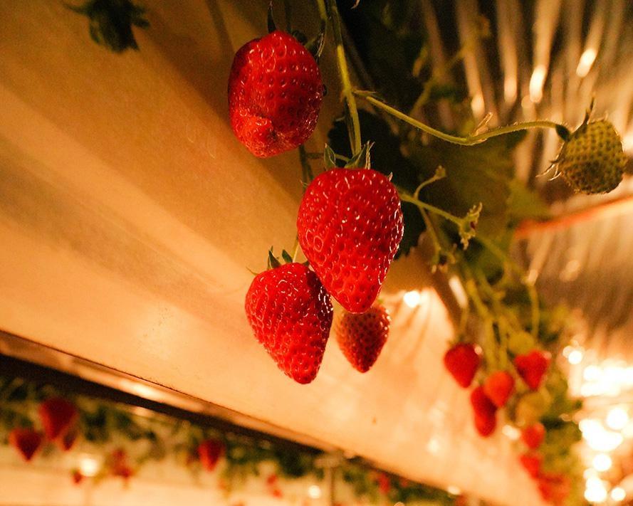 ロマンチックな夜のいちご狩りが楽しめる、滋賀県東近江市のベジタブルガーデンで「いちご狩り」がオープン中