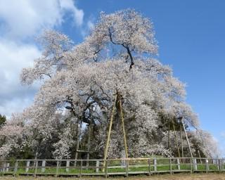 樹齢600年を超えるエドヒガンザクラ、福島県東矢祭町「戸津辺の桜」の見頃は?