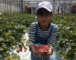 絶品のいちごが食べ放題、千葉県南房総市の枇杷倶楽部で「いちご狩り」が開催中
