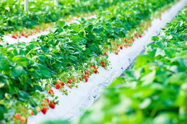 【写真】吉次園では6種類のいちご約50000本を栽培しており、園内はいちごのあまい香りであふれている