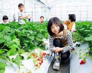 おいしいいちごに出会える、熊本県熊本市の観光農園 吉次園で「いちご狩り」が開催中