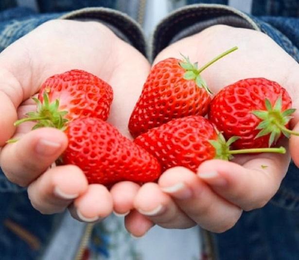 【写真】真っ赤に熟した粒ぞろいのいちごは絶品!