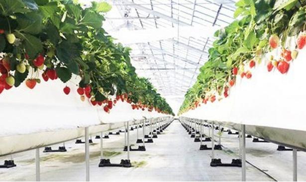 高設栽培で、摘み取りもしやすい美らイチゴ(南城ハウス)