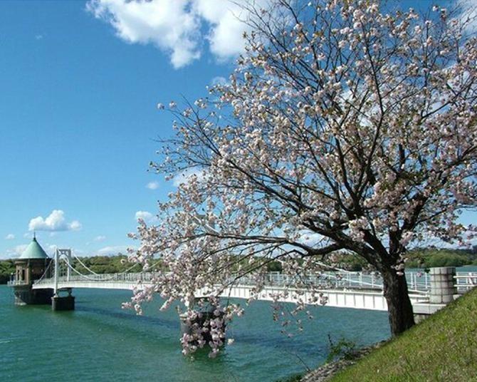 所沢で一番の桜のスポット、埼玉県所沢市の狭山湖周辺の桜の見頃は?