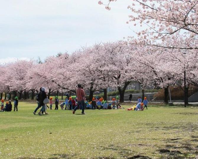 芝生の上で花見ができる、石川県加賀市「加賀市中央公園」の桜の見頃は?