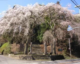 水戸黄門ゆかりの桜の子孫が残る、茨城県東茨城郡城里町の小松寺のしだれ桜の見頃は?