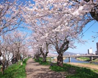 約2.2キロ続く桜並木は圧巻、福井県福井市の足羽川桜並木が見頃