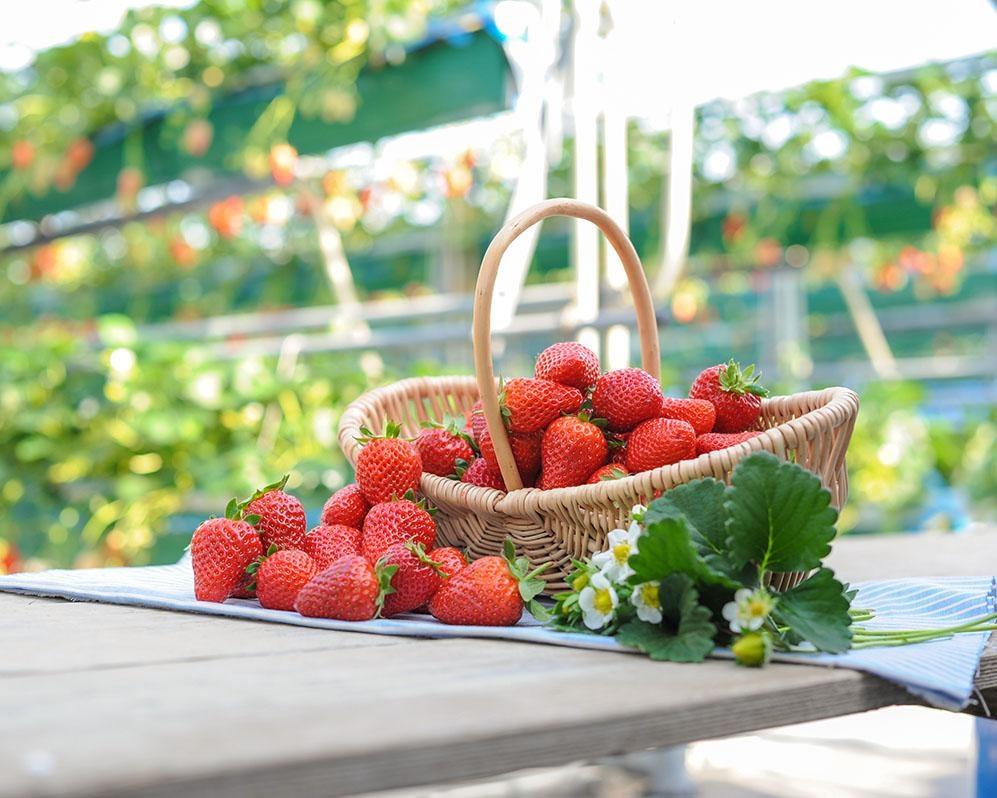 広々ハウスで3種のいちごを食べ比べ、和歌山県御坊市の農園紀の国で「いちご狩り」開催