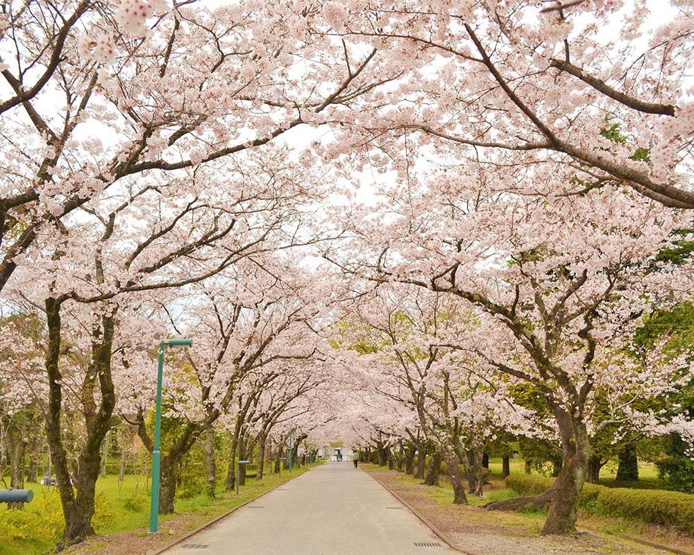 「日本さくら名所100選」にも選ばれた桜の名所、高知県香美市の鏡野公園の桜の見頃は?