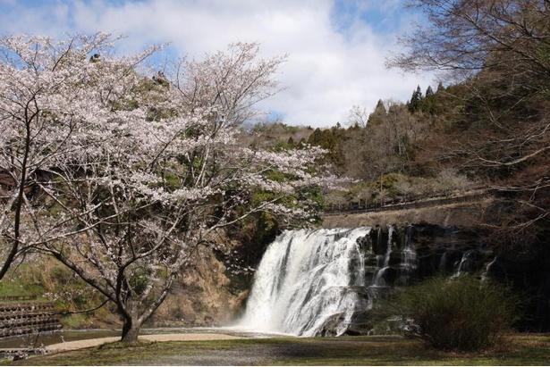 【写真】滝つぼ付近まで降りたところにも桜が咲いている