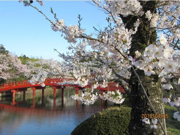 【写真】相馬の桜フォトコンテスト佳作「桜爛漫」