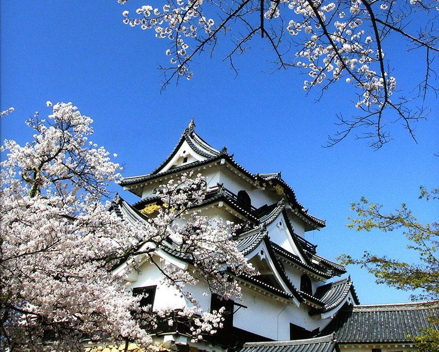 天守閣をバックに咲き誇る桜は必見!滋賀県彦根市の国宝・彦根城の桜が見頃は?