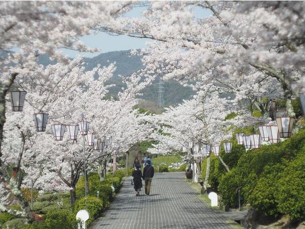 満開の桜を楽しみながら散歩しよう