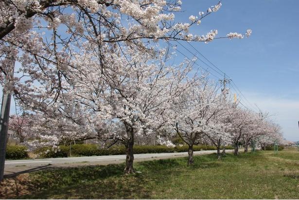 【写真】花見をするうえで、公園内に広い芝生があるのはうれしい