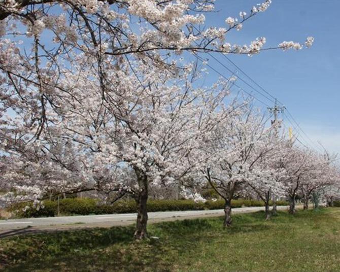 長期間にわたって桜を楽しめる、石川県宝達志水町の白虎山公園の桜の見頃はいつ?