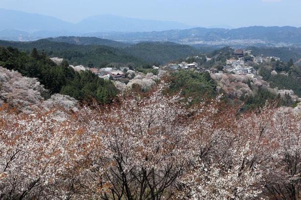 【写真】展望台からは吉野山全体の桜が見渡せる
