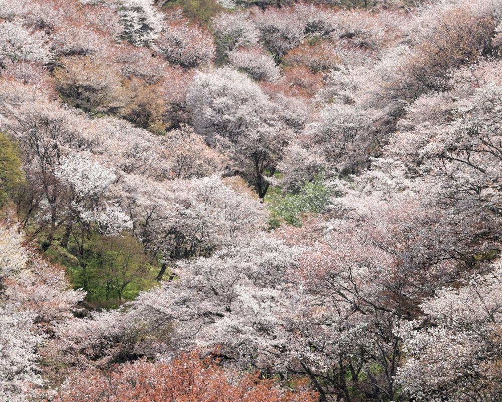 """""""一目千本""""の絶景、奈良県吉野町の吉野山の桜はいつが見頃?"""