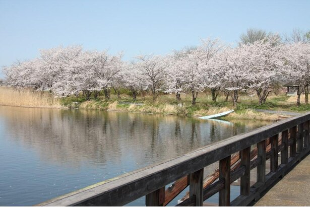 吉野公園の桜の見頃は例年4月中旬頃まで