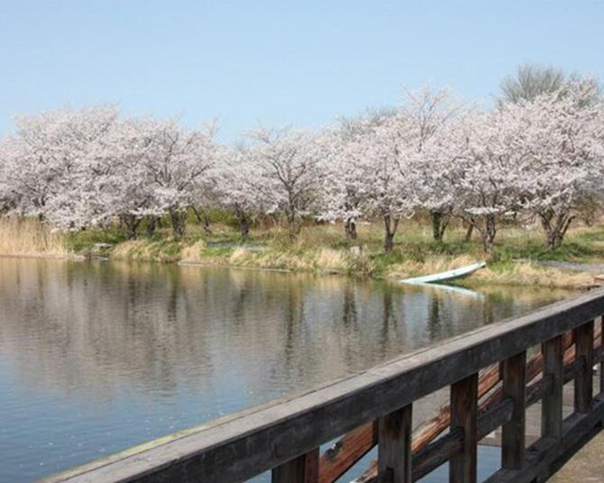 釣りとお花見を楽しめる、茨城県常総市の吉野公園の桜の見頃はいつ?